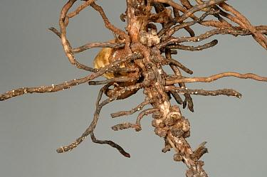 Pea cyst nematode (Heterodera gottingiana) female cysts erupting on roots of a field bean plant  -  Nigel Cattlin/ FLPA