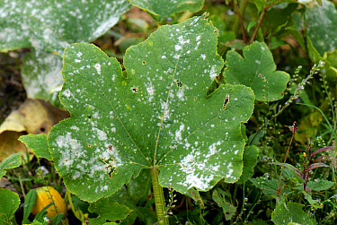 Powdery mildew (Sphaerotheca fuliginea) infection on pumpkin leaves  -  Nigel Cattlin/ FLPA