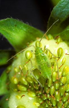 Potato capsid (Calocoris norvegicus) nymph on immature strawberry fruit  -  Nigel Cattlin/ FLPA