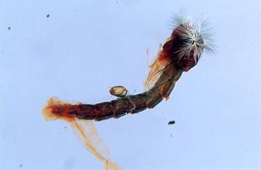 Indicator species of chironomid midge (Chironomus riparius) pupa  -  Nigel Cattlin/ FLPA