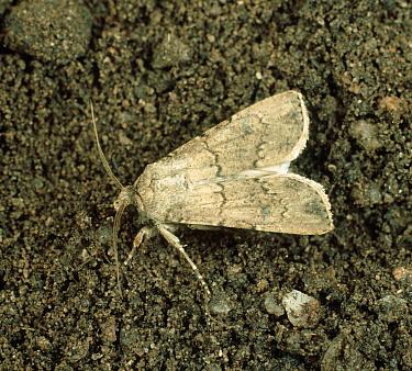 Turnip cutworm (Agrotis segetum) moth on soil  -  Nigel Cattlin/ FLPA
