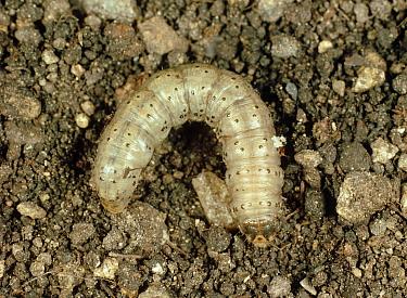Common cutworm (Agrotis segetum) caterpillar on soil surface  -  Nigel Cattlin/ FLPA