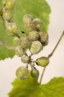 Powdery mildew (Uncinula necator) infected young grapes  -  Nigel Cattlin/ FLPA