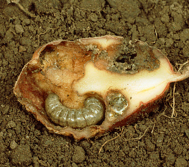 Common Cutworm (Agrotis segetum) caterpillar inside damaged potato tuber  -  Nigel Cattlin/ FLPA