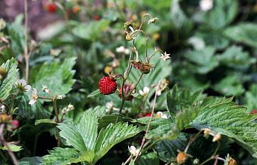 Wild strawberry (Fragaria vesca) in fruit in hedgerow  -  Nigel Cattlin/ FLPA