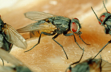 House fly (Musca domestica) on meat  -  Nigel Cattlin/ FLPA