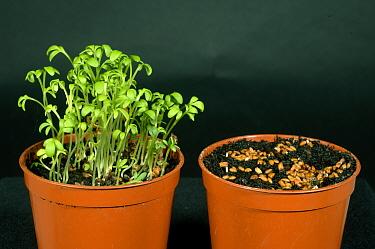 Comparison of cress seedlings grown in normal & cold temperatures  -  Nigel Cattlin/ FLPA