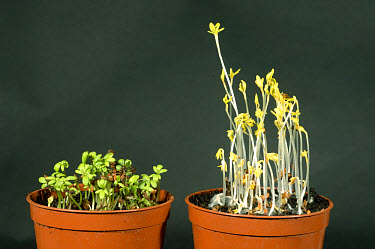 Comparison of cress seedlings grown with and without light  -  Nigel Cattlin/ FLPA