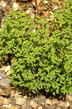 Petty spurge (Euphorbia peplus) large flowering plant  -  Nigel Cattlin/ FLPA