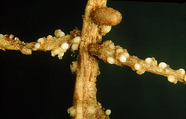 Pea cyst nematodes, PCN, (Heterodera gottingiana) light coloured cysts on a pea root  -  Nigel Cattlin/ FLPA