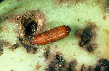 Bean seed fly (Delia platura) pupa and damage on green bean (Phaseolus vulgaris)  -  Nigel Cattlin/ FLPA