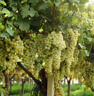 Heavy crop of Sweet white grapes grown for table use. Grapes grown on trellises under polythene in Italy  -  Nigel Cattlin/ FLPA