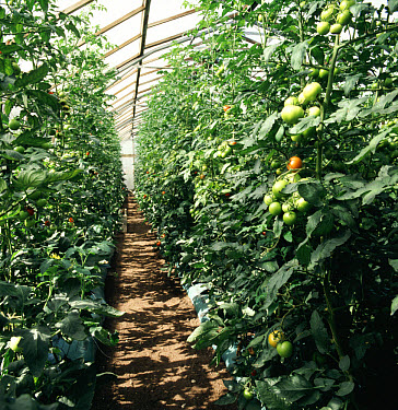 Tomatoes being grown commercially in large glasshouse, fruit ripening  -  Nigel Cattlin/ FLPA
