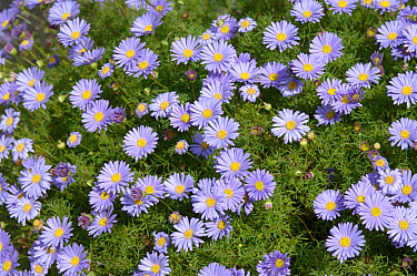 Flowers of delicate kingfisher daisy (Felicia bergeriana) plant  -  Nigel Cattlin/ FLPA