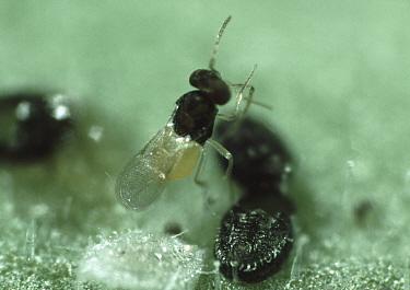 Parasitoid wasp (Encarsia formosa) with parasitized whitefly pupae (Trialeurodes vaporariorum)  -  Nigel Cattlin/ FLPA