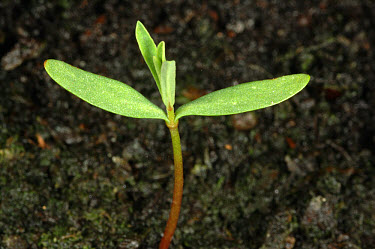 Petty spurge (Euphorbia peplus) seedling with true leaves forming  -  Nigel Cattlin/ FLPA