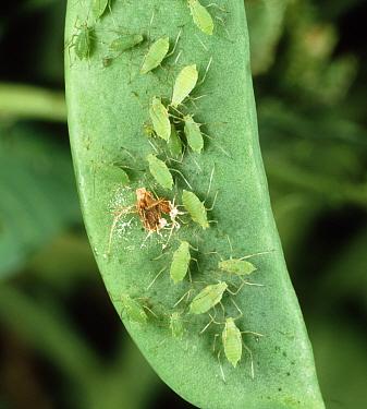 Pea aphid (Acrythosiphon pisum) greenfly on a pea pod  -  Nigel Cattlin/ FLPA