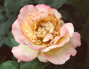 Rose thrips (Thrips fuscipennis) damage to rose flower  -  Nigel Cattlin/ FLPA