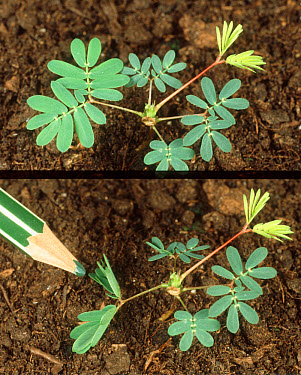 Sensitivity plant showing before and after activating sensitive leaves by touch  -  Nigel Cattlin/ FLPA