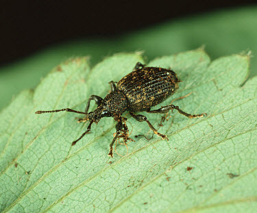 Vine weevil (Otiorhynchus sulcatus) on Strawberry (Fragaria x annassa) leaf  -  Nigel Cattlin/ FLPA