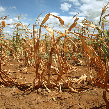 Maize crop in Africa destroyed by drought conditions  -  Nigel Cattlin/ FLPA