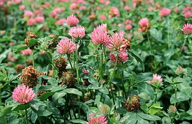 Red clover (Trifolium pratense) crop grown as a fodder crop for livestock feed  -  Nigel Cattlin/ FLPA