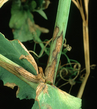 Ascochyta leaf spot (Ascochyta pisi) infection on pea stem, axials and leaves  -  Nigel Cattlin/ FLPA