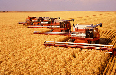 Five Massey Ferguson combines in operation on prairies. USA  -  Nigel Cattlin/ FLPA