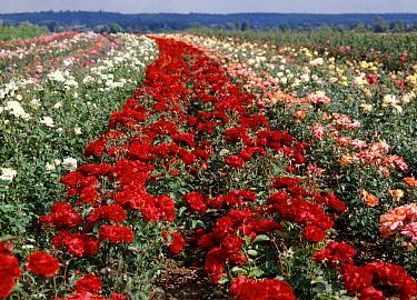 Various coloured Roses in Bloom being grown for Garden centres in America  -  Nigel Cattlin/ FLPA