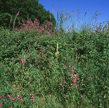 Red campions (Silene dioica), Navelwort (Umbilicus rupestris), foxgloves (Digitaria purpurea) and grass and other vegetation growing  -  Nigel Cattlin/ FLPA