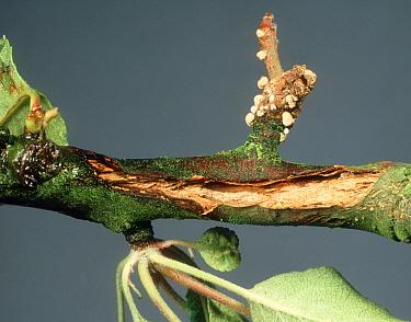 Spur blight (Sclerotina fructigena) mycelium developing on wood twig  -  Nigel Cattlin/ FLPA