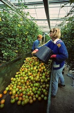 Putting harvested tomatoes in trolley in modern glasshouse  -  Nigel Cattlin/ FLPA