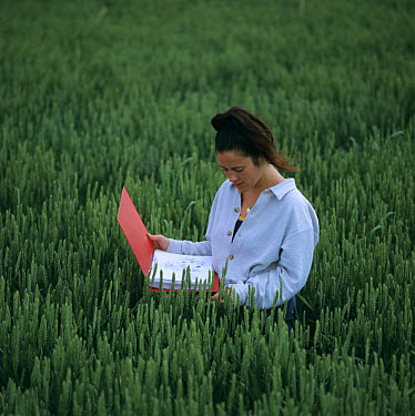 Research assistant assessing wheat crop in ear at Rothamsted Research Station  -  Nigel Cattlin/ FLPA