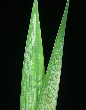 Gladiolus Thrips (Thrips simplex) damage to gladiolus leaves  -  Nigel Cattlin/ FLPA