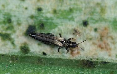 Gladiolus thrip adult on damaged gladiolus leaf  -  Nigel Cattlin/ FLPA