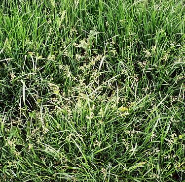 Close up of Meadowgrass in flower in Ryegrass in June  -  Nigel Cattlin/ FLPA