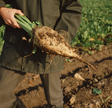 A farmer shows off an excellent root of sugar beet (Beta vulgaris) at harvest time. The tap root is the source of sugar  -  Nigel Cattlin/ FLPA