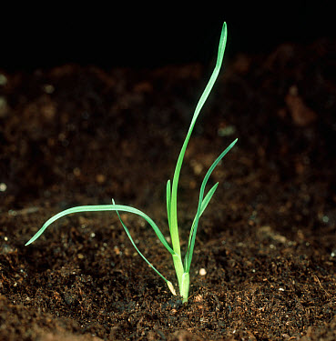 Annual meadow grass (Poa annua) seedling plant  -  Nigel Cattlin/ FLPA