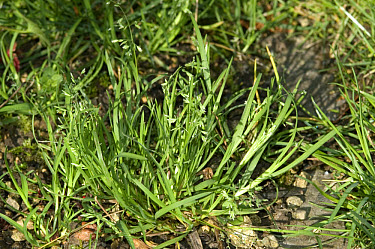 Annual meadow grass (Poa annua) plant flowering in gravel drive  -  Nigel Cattlin/ FLPA
