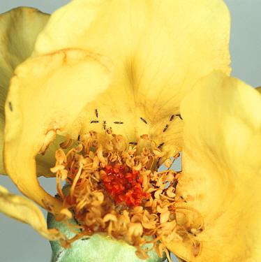 Rose thrips (Thrips fuscipennis) on damaged rose flower  -  Nigel Cattlin/ FLPA