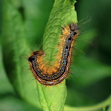 Lackey Moth caterpillar feeding on plum leaf (Malacasoma neustria)  -  Nigel Cattlin/ FLPA
