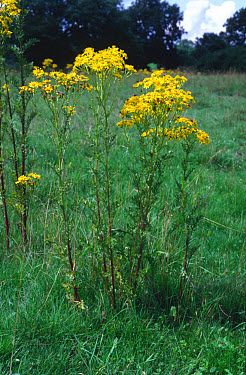 Ragwort (Senecio jacobaea) in flower in grassland. Ragwort is poisonous to horses and cattle and some other livestock so it is notifiable weed  -  Nigel Cattlin/ FLPA