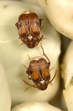 Adzuki bruchid (Callosobruchus chinensis) adult pests on dried peas in store  -  Nigel Cattlin/ FLPA
