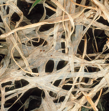 Speckled snow mould or snow rot (Typhula incarnata) damage to young barley crop  -  Nigel Cattlin/ FLPA