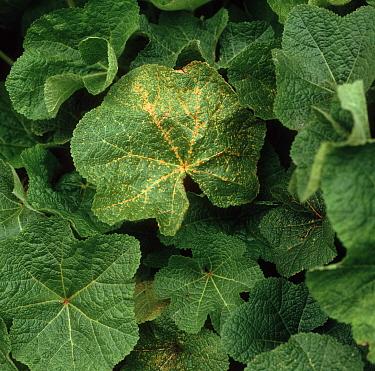 Hollyhock rust (Puccinia malvacearum) on hollyhock foliage  -  Nigel Cattlin/ FLPA