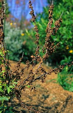 Blossom wilt (Sclerotinia laxa) on flowering Cherry (Prunus glandulosa 'Alba Plena)  -  Nigel Cattlin/ FLPA