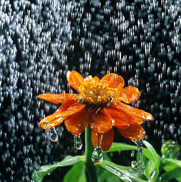 Water droplets, rain or watering can, falling on a Zinnia flower  -  Nigel Cattlin/ FLPA