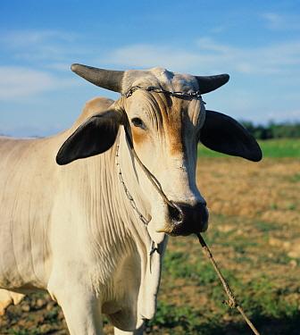 Head of a working brahman ox, Philippines  -  Nigel Cattlin/ FLPA