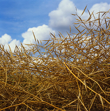 Ripe dessicated oilseed rape pods before harvest  -  Nigel Cattlin/ FLPA