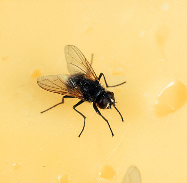 House fly (Musca domestica) on cheese  -  Nigel Cattlin/ FLPA